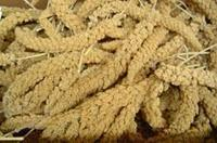 Golden Spray Millet <b>5 lb</b> Box